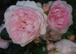 National Gardening Week, Looking at Roses by Katherine Crouch