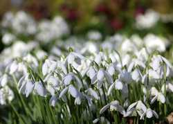 Snowdrops!  By Alison Moore