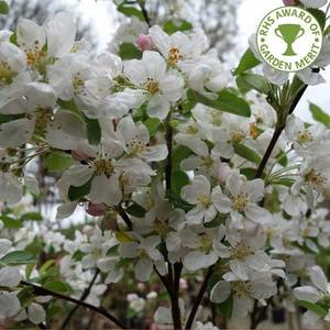 Malus Evereste - Crab Apple