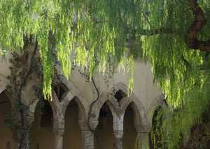False Pepper Tree, Cloisters, Sorrento