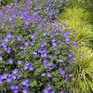 Geranium 'Rozanne'with contrasting Hakonechloa Variegata